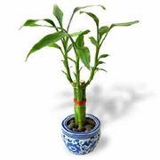 bambu pianta