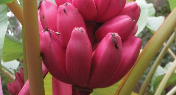 banana rosa