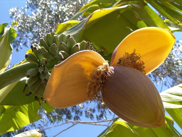 Banano Musa