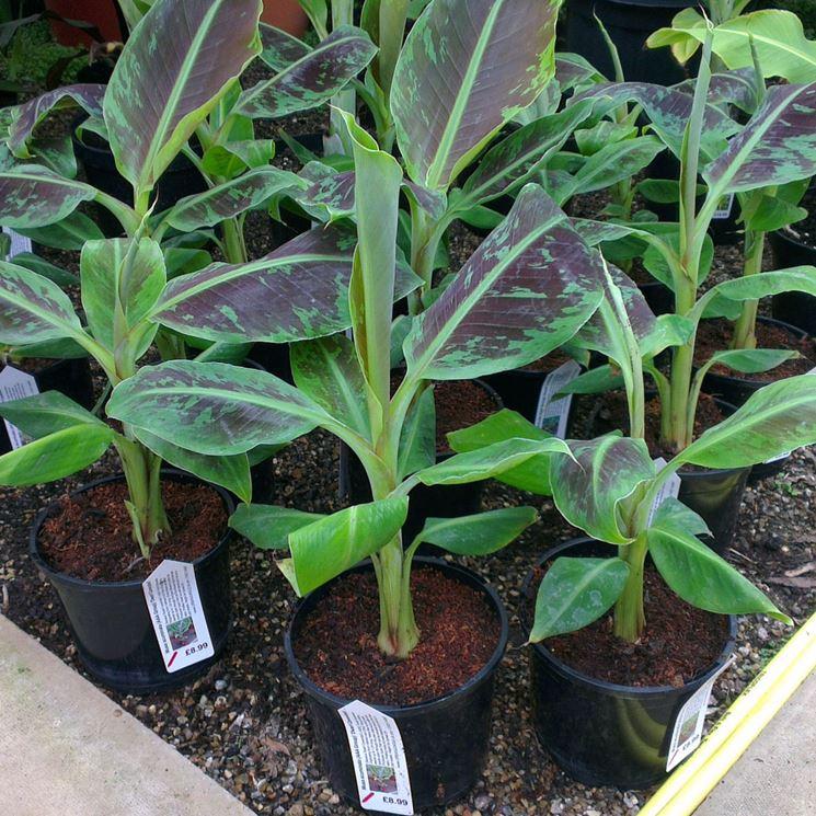 "Musa acuminata ""Dwarf Cavendish"""