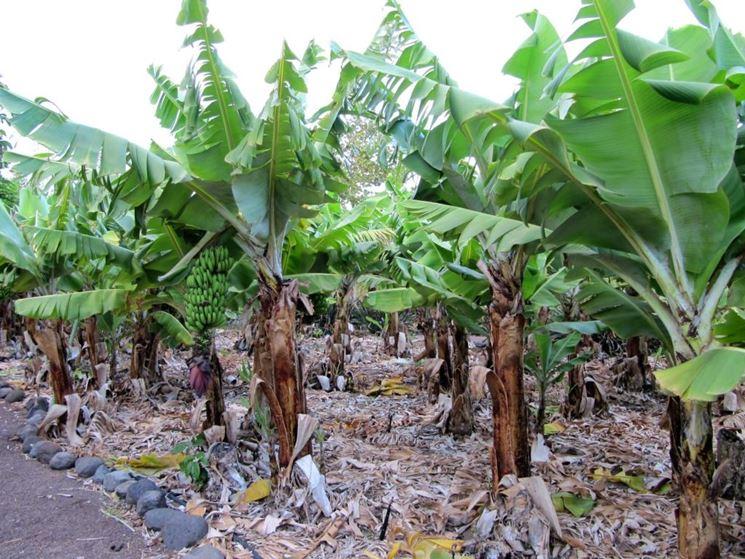 Banano piante da giardino pianta di banano for Albero di banane