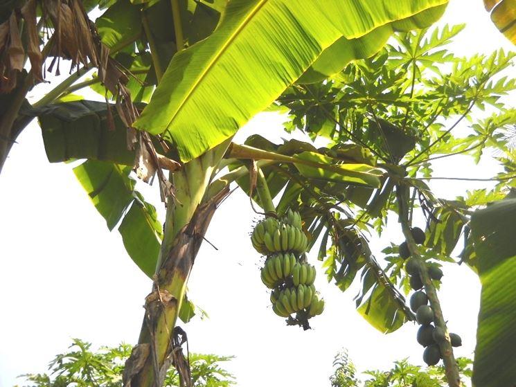 Banano piante da giardino pianta di banano for Una storia a pianta aperta