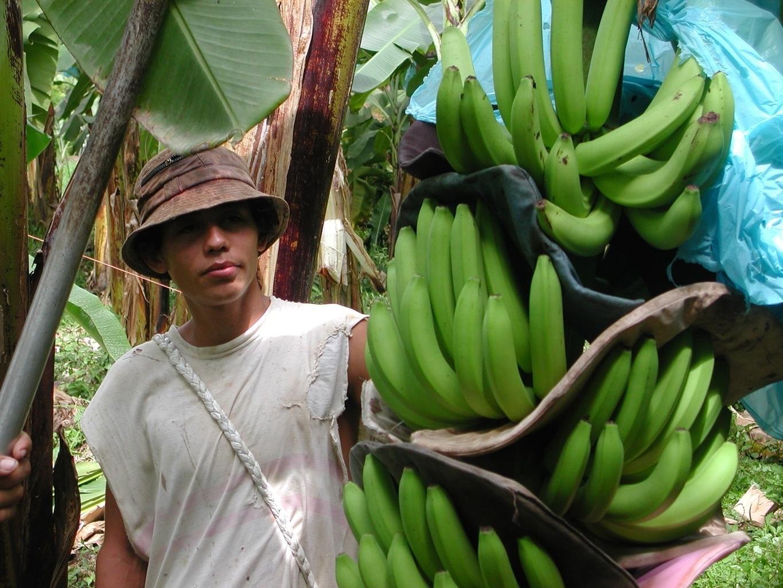 Pianta Di Banana Foto banano - piante da giardino - pianta di banano