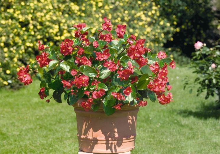 Begonia piante da giardino begonia pianta for Begonia pianta