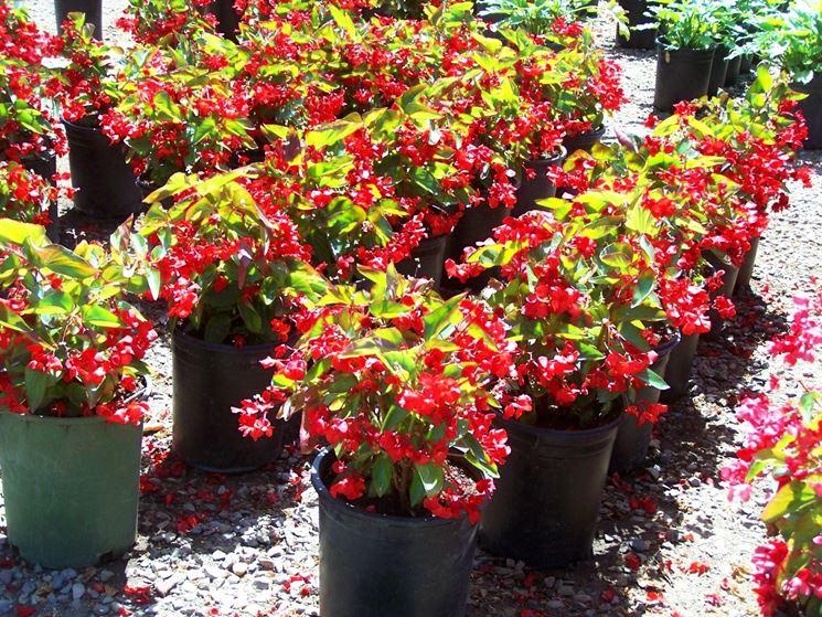 Begonia foglie