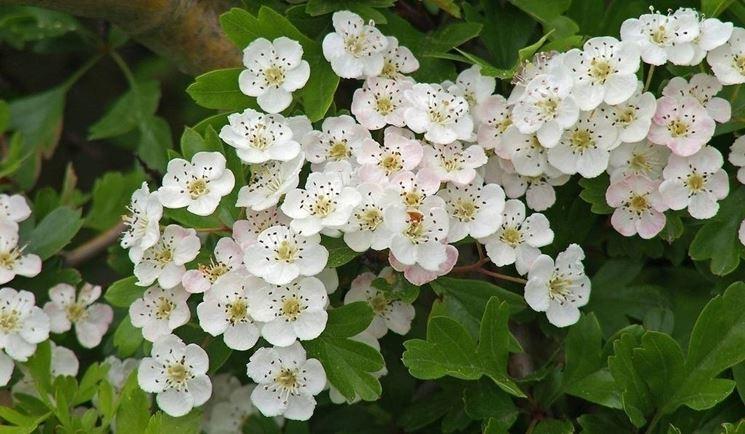 Biancospino piante da giardino come coltivare il for Fiori piccoli bianchi