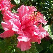 albero con fiori rosa