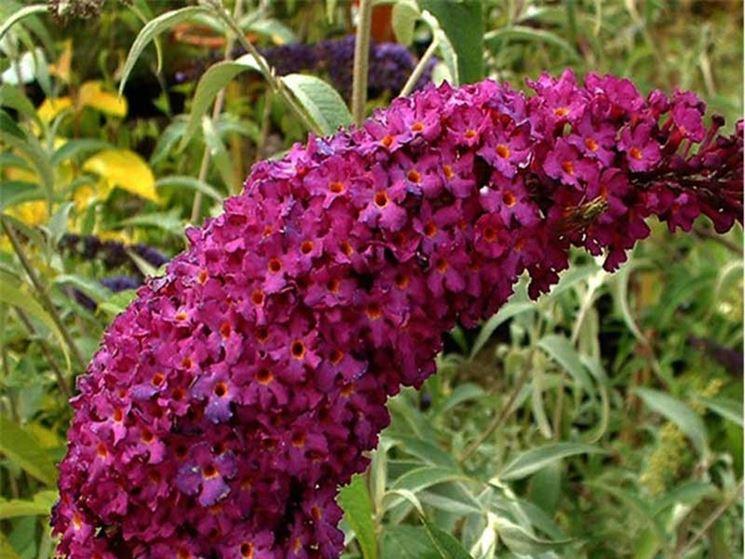 Buddleia fiori pianta
