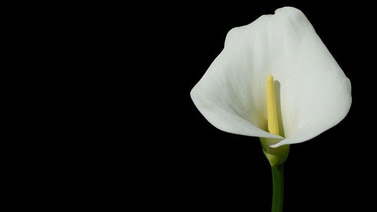Fiore della Calla.