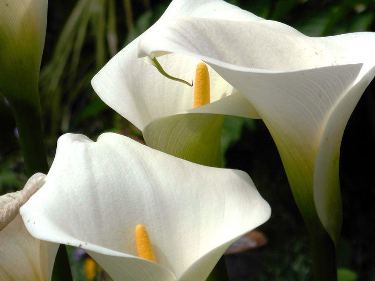 Dettaglio fiore Calla.