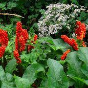 Calle selvatiche: bacche rosse e foglie di un verde intenso!