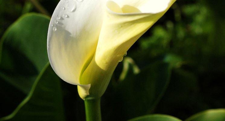 Bacche dell'arum italicum in giardino!
