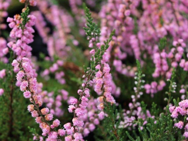 Calluna vulgaris fiore