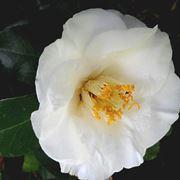 disegno botanico della camellia sinensis
