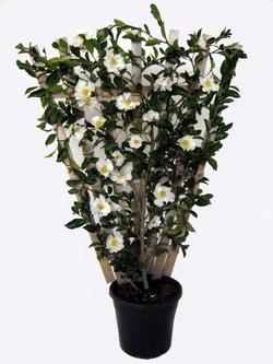 Camelia bianca piante da giardino caratteristiche for Camelie in vaso