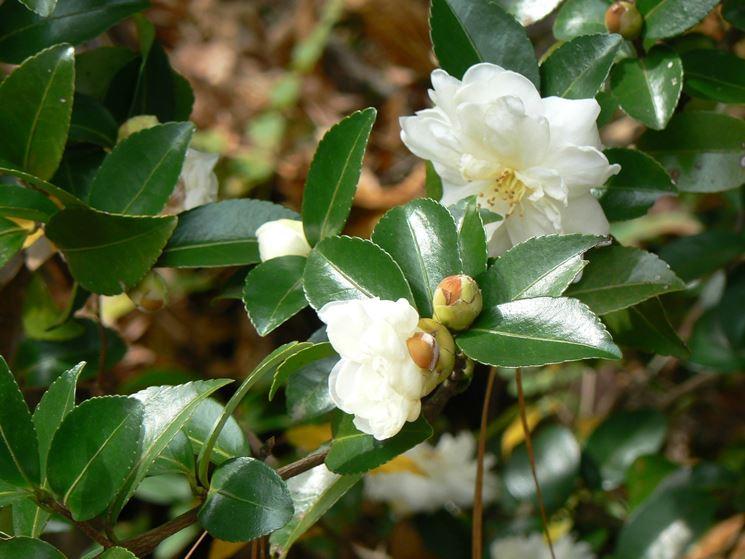 fiori di camellia sasanqua
