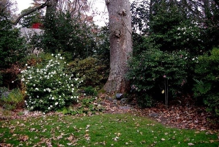 pianta di camelia bianca in giardino