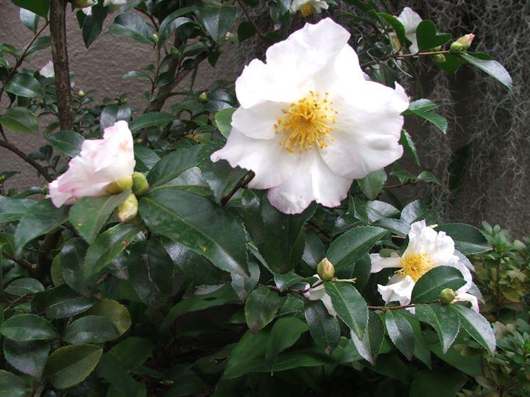 sasanqua fiore bianco