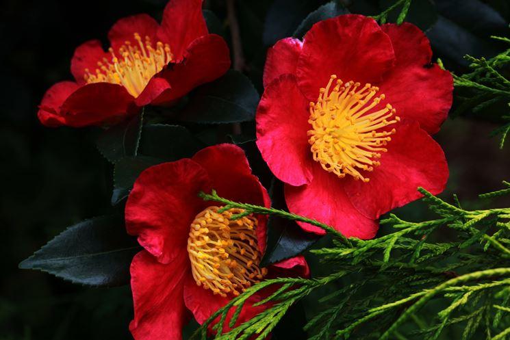 Esempio di fiore della Camelia sasanqua.