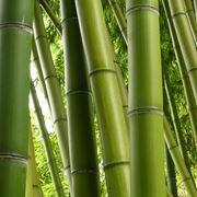 Esempio di fusto canna di bamb�.
