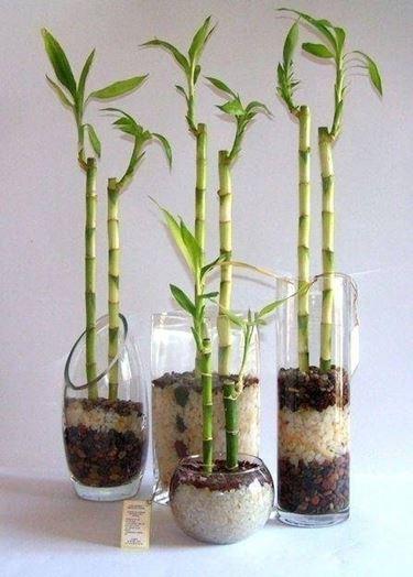 Canne di bamb� in vaso.
