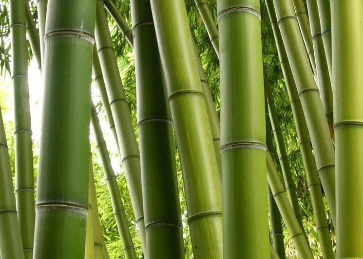 Esempio di fusto canna di bambu