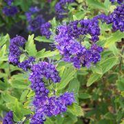 Caryopteris fiori
