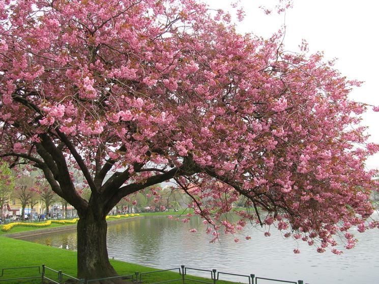 ciliegio da fiore piante da giardino coltivare ciliegio