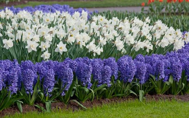 Colori invernali per aiuole fredde piante da giardino for Piante che fioriscono in inverno