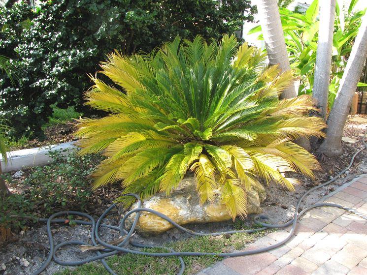 Cycas foglie gialle