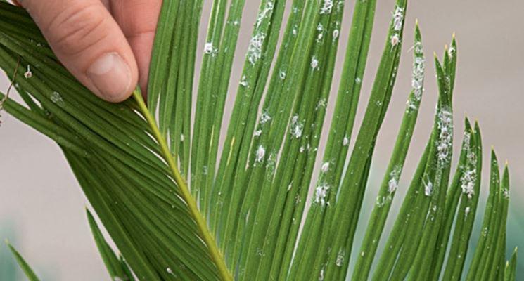 Foglia di Cycas attaccata da Cocciniglia farinosa
