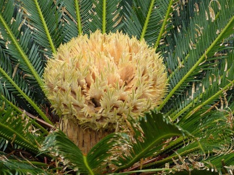 Fiore della Cycas femmina
