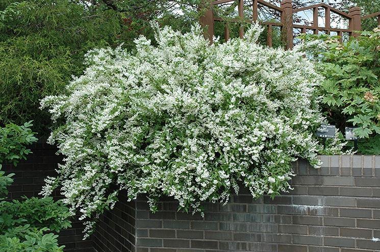 Arbusto deutzia