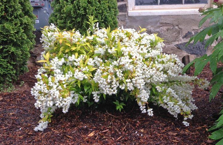 Arbusto pianta