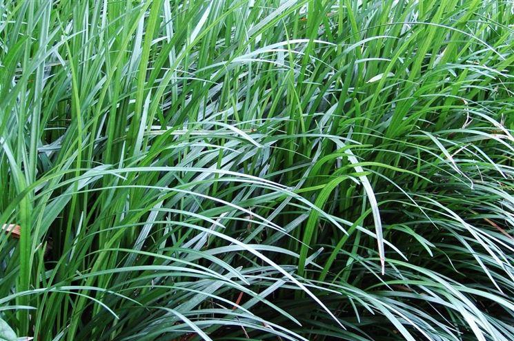 Cespi <strong>convallaria</strong> japonica
