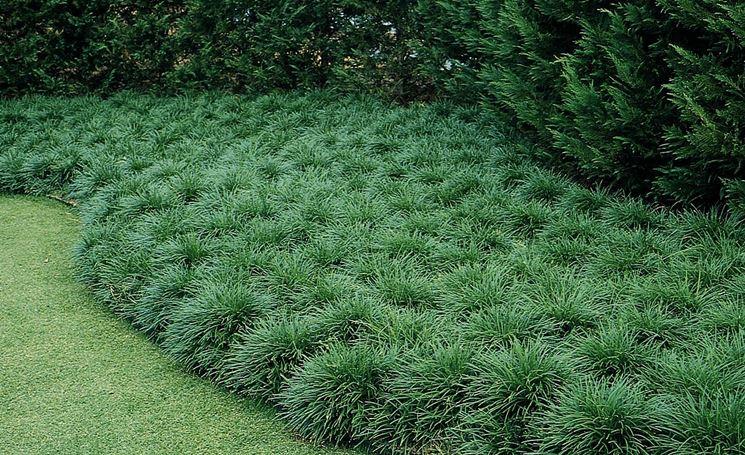 Aiuola convallaria japonica