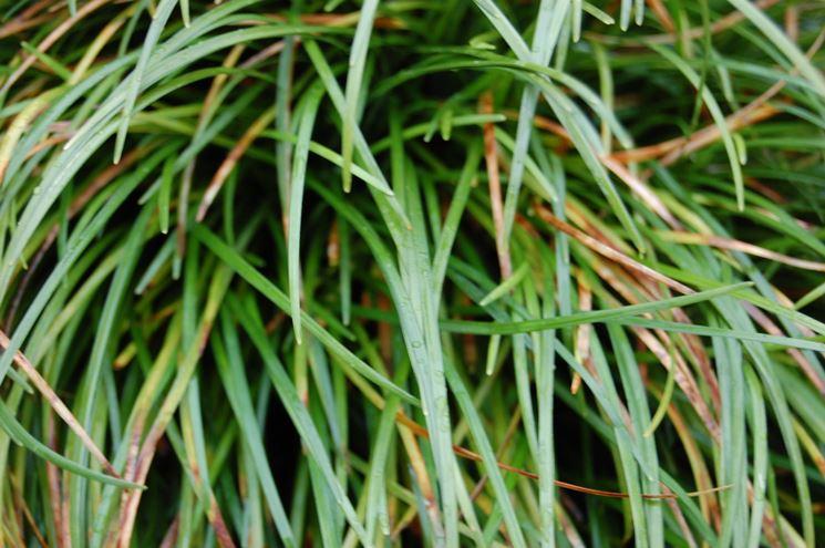 Foglie convallaria japonica
