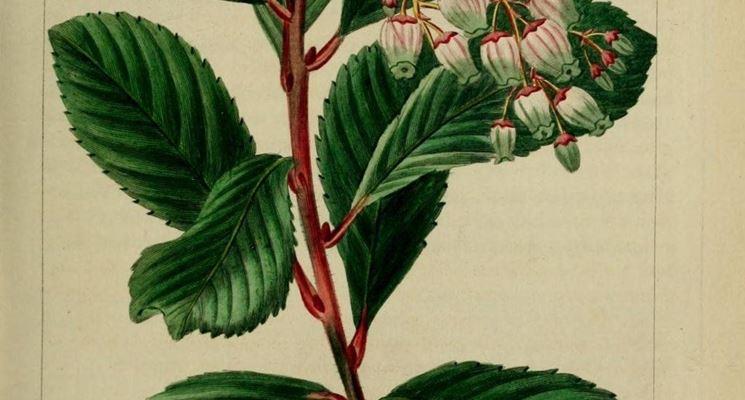 Disegno di foglie, fiori e frutti del corbezzolo