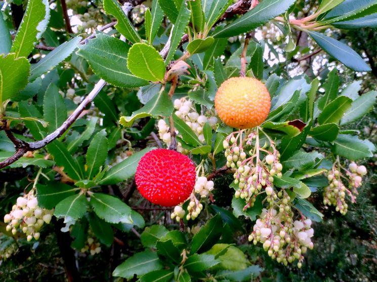 Corbezzolo pianta piante da giardino caratteristiche - Alberi frutto giardino ...