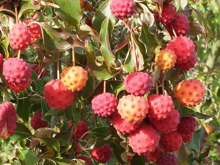 Frutti fragole cornus kousa