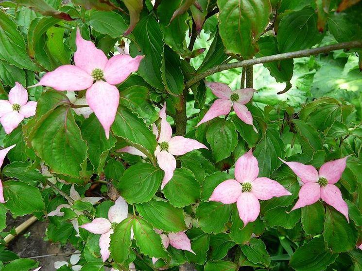 Corniolo giapponese fiore