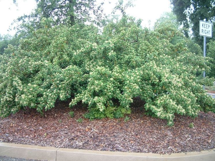 Cotoneaster pianta