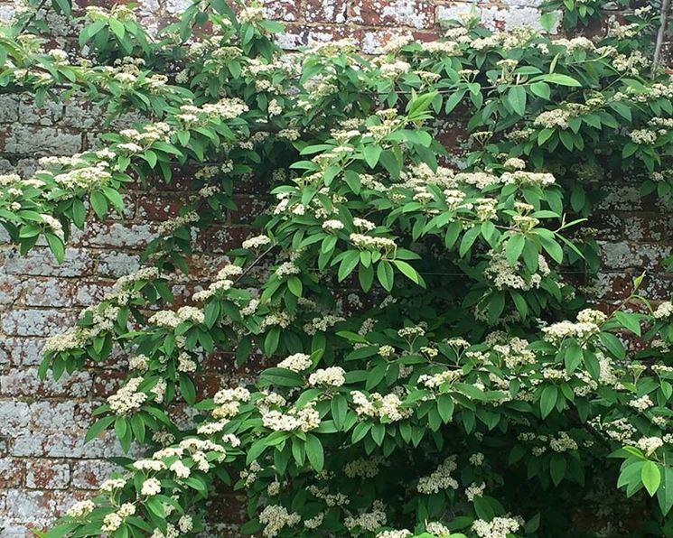 Siepe cotoneaster