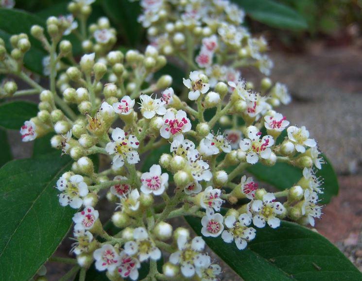 Infiorescenze pianta cotoneaster