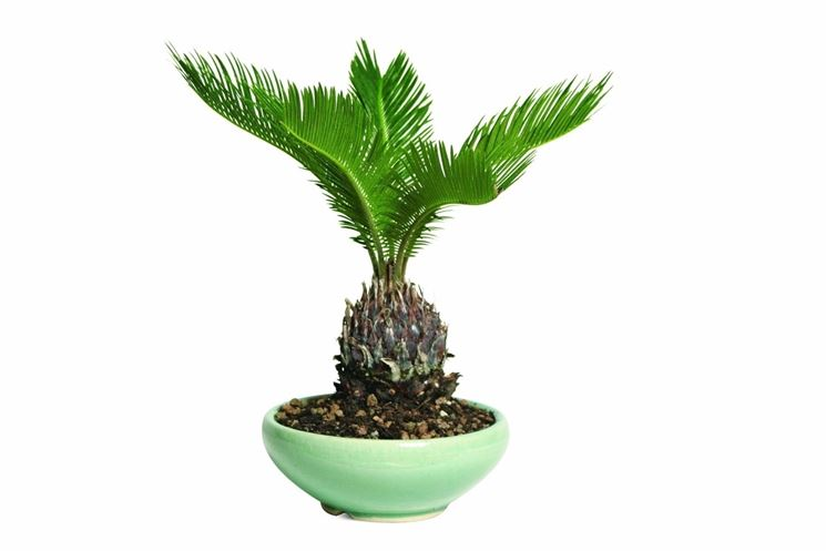 piante cycas
