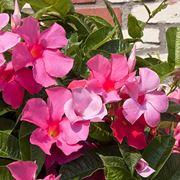 Fiori dipladenia rosa