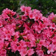 Pianta di azalea rosa