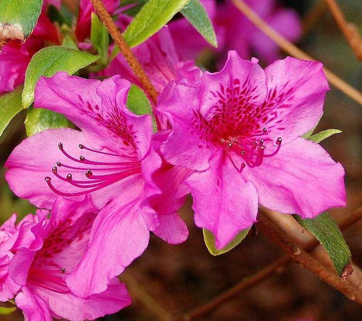 Particolare di un'azalea rosa