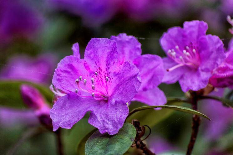 Esemplare di azalea viola