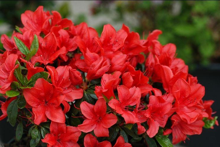 Azalea di colore rosso